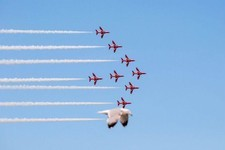 This Seagull Really Wants to Be the Star of the Air Show